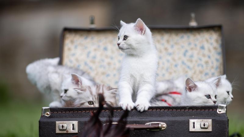 Sieben Britisch Kurzhaar (BKH) Katzen sitzen in einem Koffer. Foto: Guido Kirchner/dpa/Symbolbild