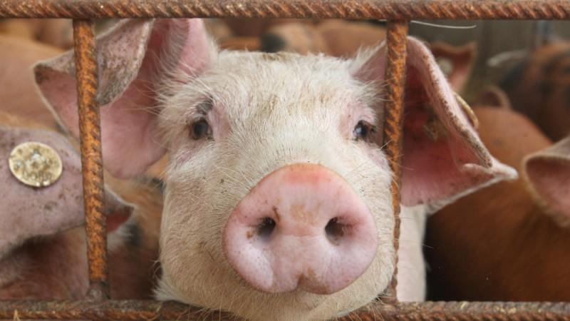 G4 Schweinegrippe