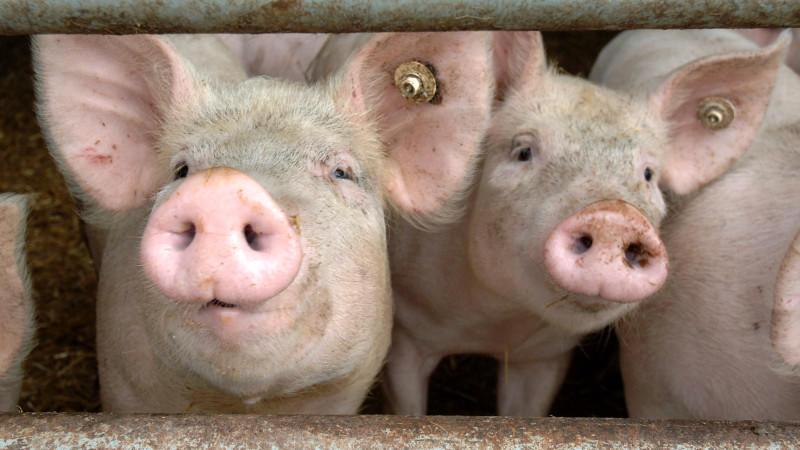 ARCHIV - Säue schauen durch die Absperrung eines Stalles auf einem Bauernhof in Walkendorf /Kreis Güstrow (Archivfoto vom 29.07.2005). Nach dem Auftreten der Schweinepest auf sechs Höfen im Münsterland drei Wochen haben rund 150 Betriebe allein im Kr