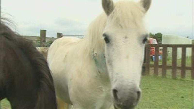 Eins der Opfer des Tierquälers: Dieses Pony überlebte die Attacke.