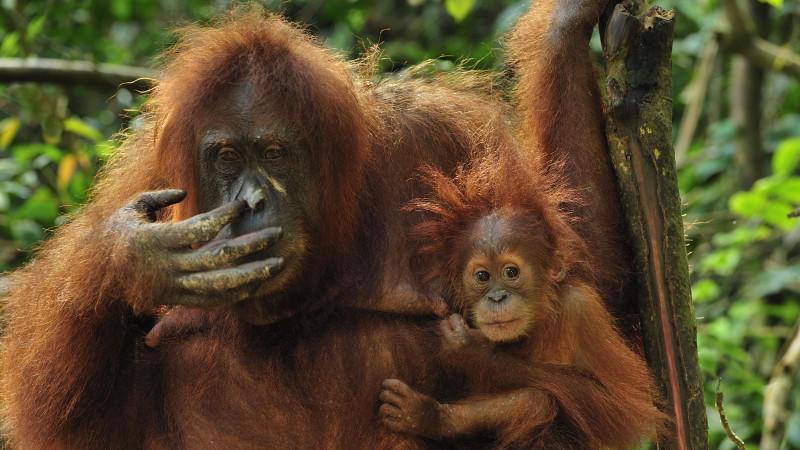 Weltweit leiden Wildtiere wie der Sumatra-Orang-Utan unter der Zerstörung natürlicher Lebensräume.