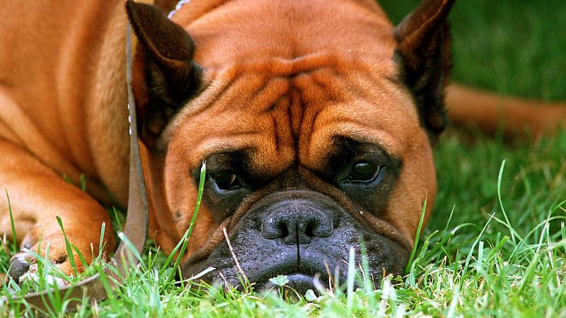 In Oberbayern ist ein Hund rund fünf Kilometer von einem Auto mitgeschleift worden und gestorben (Symbolbild).