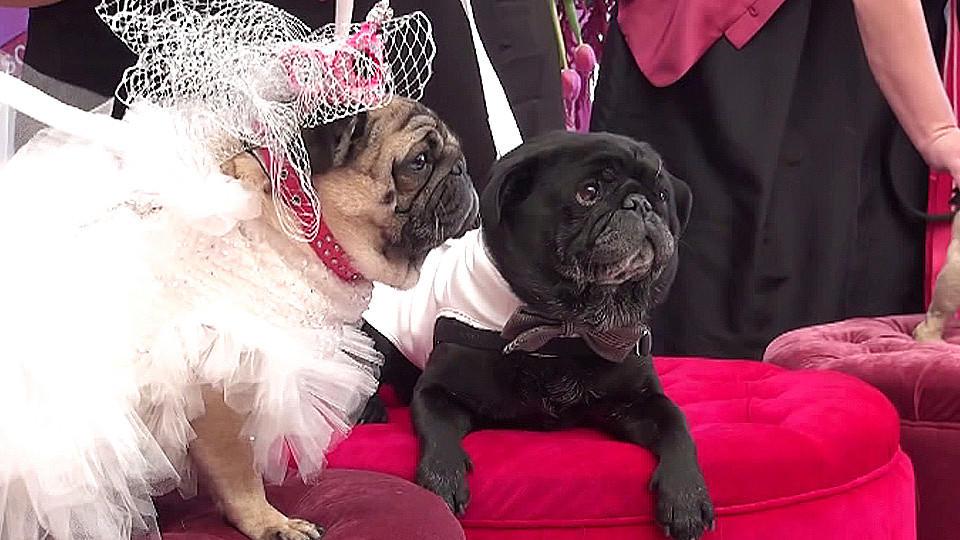 Romantische Mops-Hochzeit: Diese beiden Hübschen heiraten für einen guten Zweck