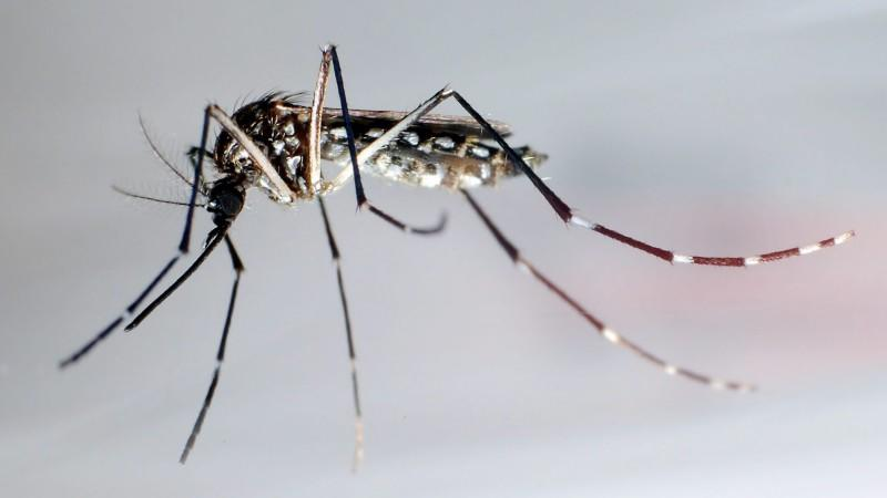 Mücke Stegomyia aegypti