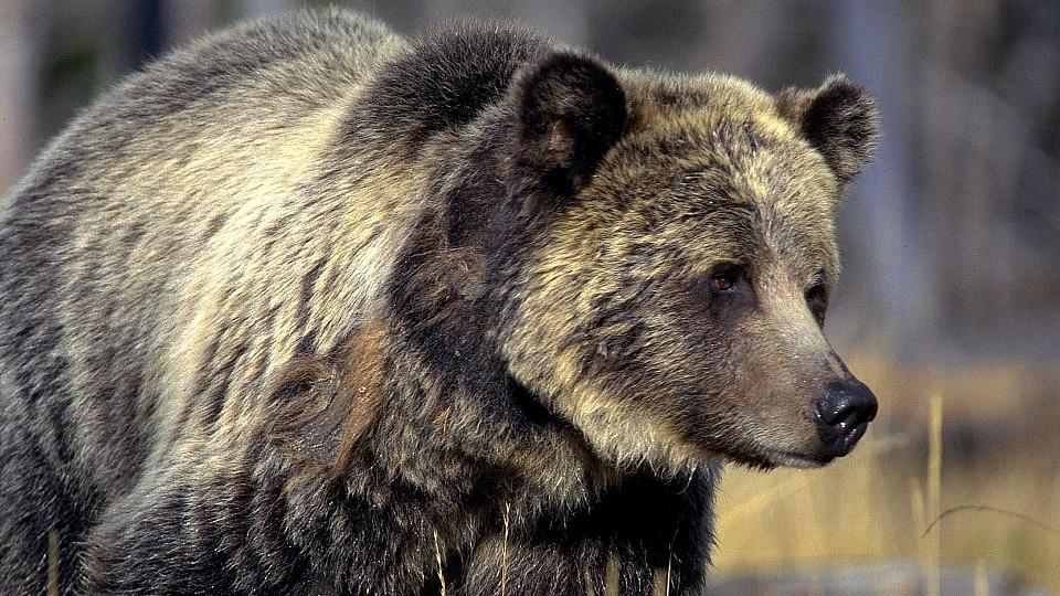 Ein Grizzlybär streift durch den Yellowstone-Nationalpark.