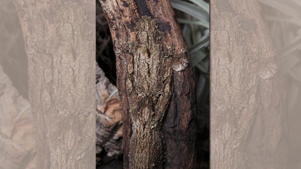 schauen sie mal genau hin hier versteckt sich ein gecko. Black Bedroom Furniture Sets. Home Design Ideas