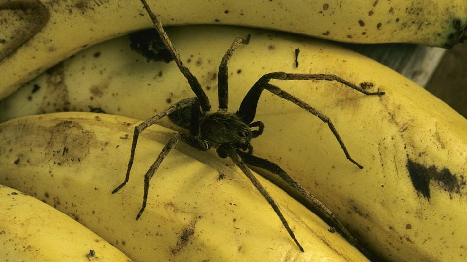 Eine Horrorvorstellung für jeden Kunden: Giftige Spinnen in Bananenkisten. (Symbolbild)