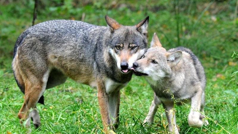 Wolfsmutter mit Jungem