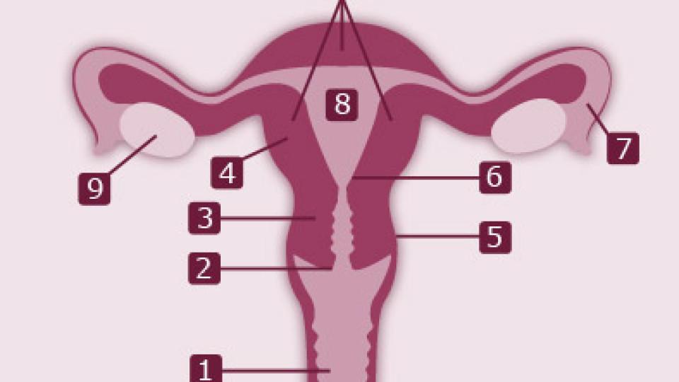 Die Gebärmutter: Aufbau und Funktion