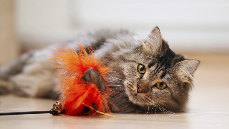 Verspielt sind die meisten Katzenrassen