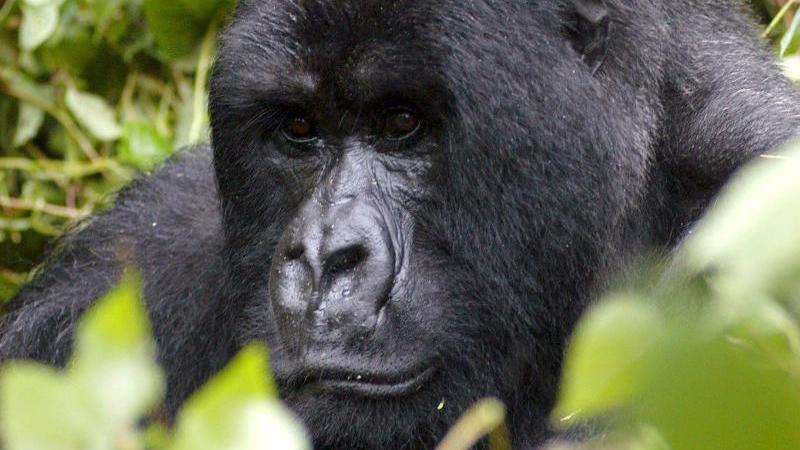 Ein Berggorilla in Ruanda (Symbolbild)