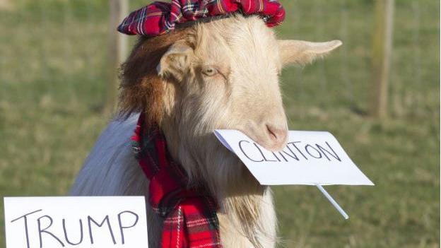 Clinton oder Trump? Diese Ziege hat sich schon entschieden.