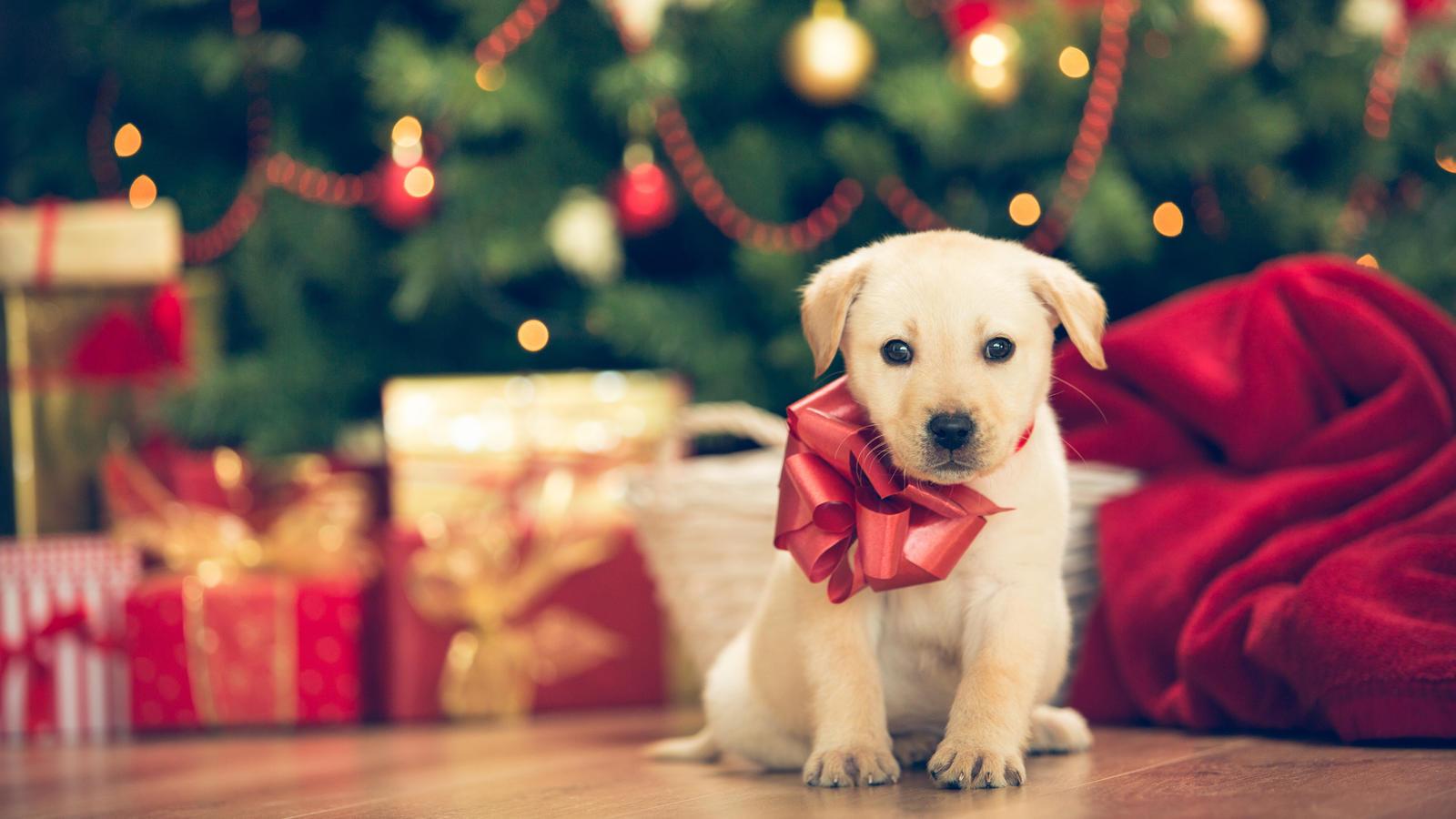 Süß sieht es ja aus, dieses flauschige Weihnachtsgeschenk. Aber viele Familien sind nach dem Fest mit dem Tier überfordert. Und dann?