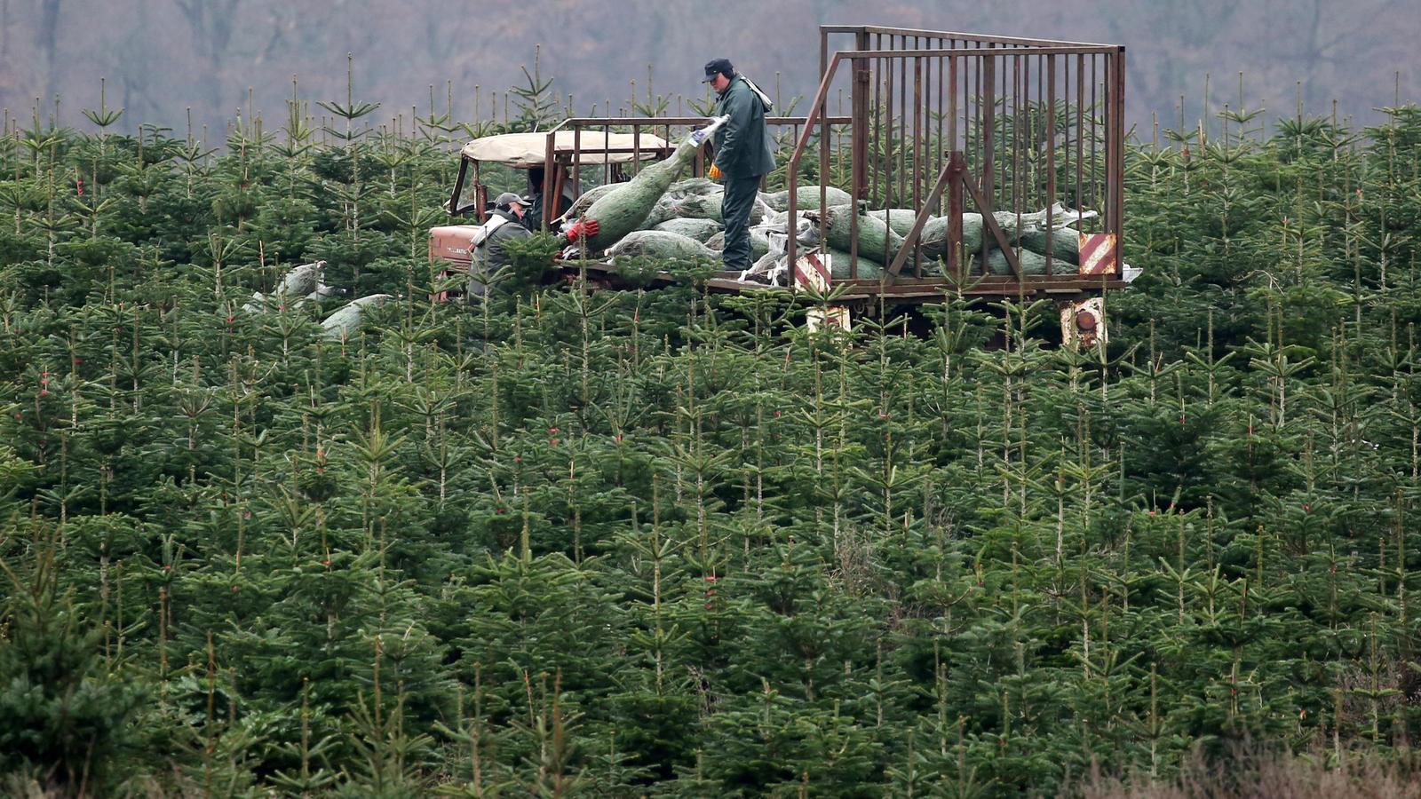 Sind die auf Weihnachtsbaumplantagen verwendeten Pestizide gefährlich für den Verbraucher?