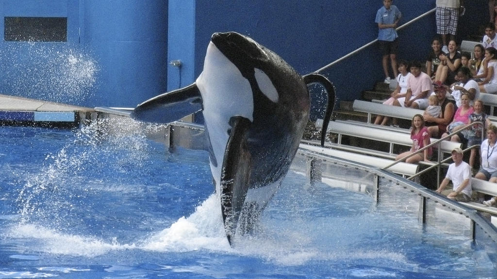 "FILE PHOTO - SeaWorld killer whale Tilikum performs during the show ""Believe"" at SeaWorld Orlando in Orlando, Florida, U.S. on September 3, 2009.  REUTERS/Mathieu Belanger/File Photo"