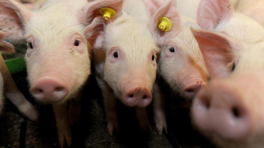 """ARCHIV - Ferkel stehen am 05.11.2014 in einem nach der """"Initiative Tierwohl"""" ausgestatteten Stall in Hilter (Niedersachsen). (zu dpa """"Landwirte mästen wieder mehr Schweine - Zahl der Betriebe sinkt aber"""" vom 12.01.2017) +++(c) dpa - Bildfunk+++"""
