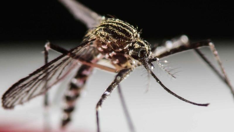 Die Gelbfiebermücke gilt in Brasilien als Überträger der Zika-Viren. Foto: Jeffrey Arguedas/Archiv