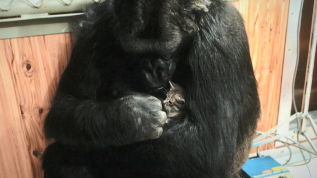 Koko hat keinen eigenen Nachwuchs
