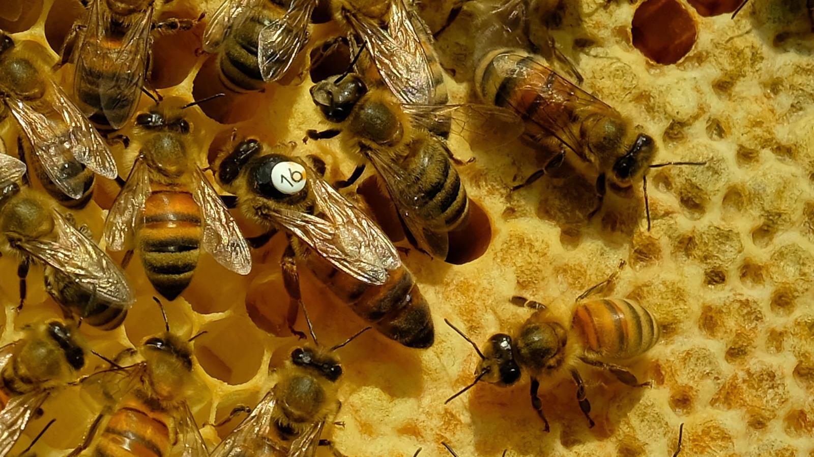 Eine Bienenkönigin ist auf einem Panel eines Bienenstockes zu sehen. (Symbolbild)