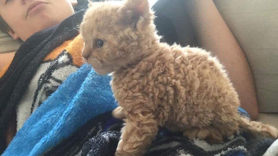 Die Selkirk-Rex-Katze hat wollig weiche Löckchen und ist auch noch für Allergiker geeignet.