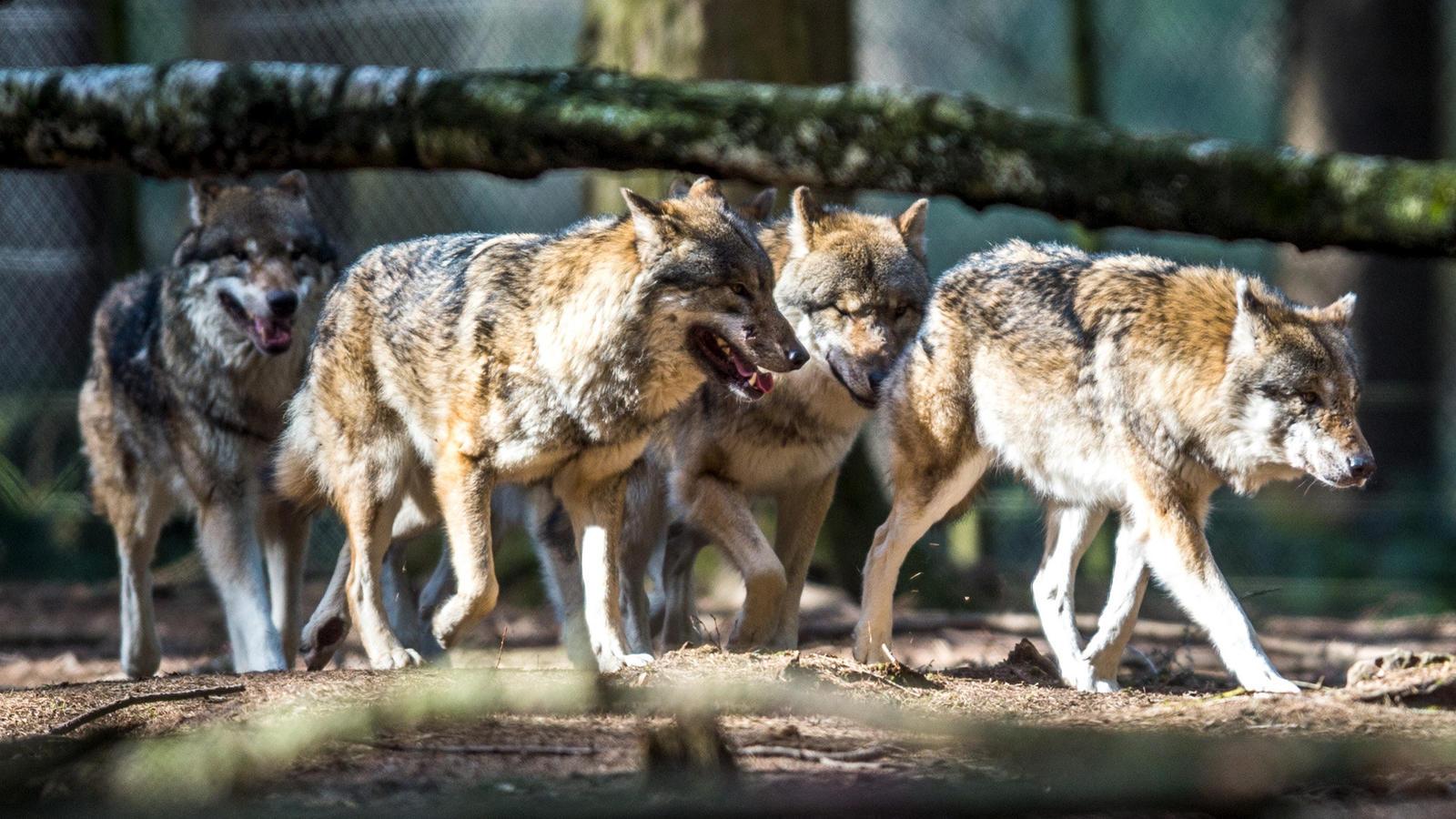 Bildergebnis für wölfe hackländer daim miller