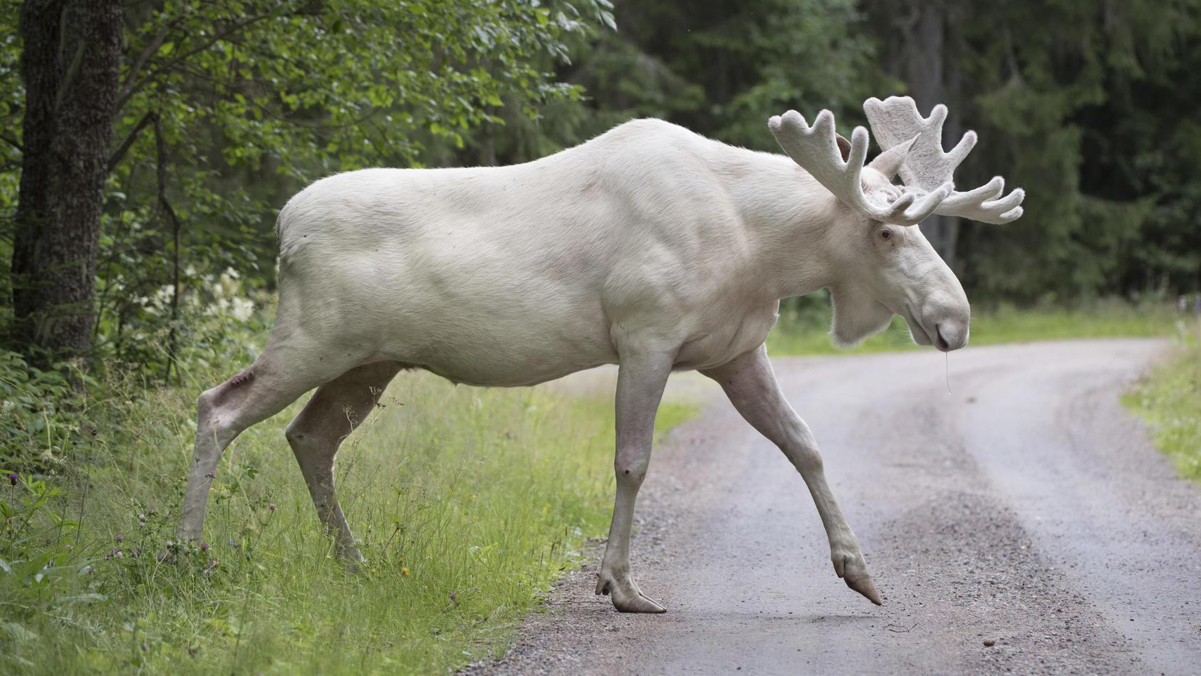 Märchenhaft schön! Dieser weiße Elch ist in Schweden eine echte Berühmtheit.
