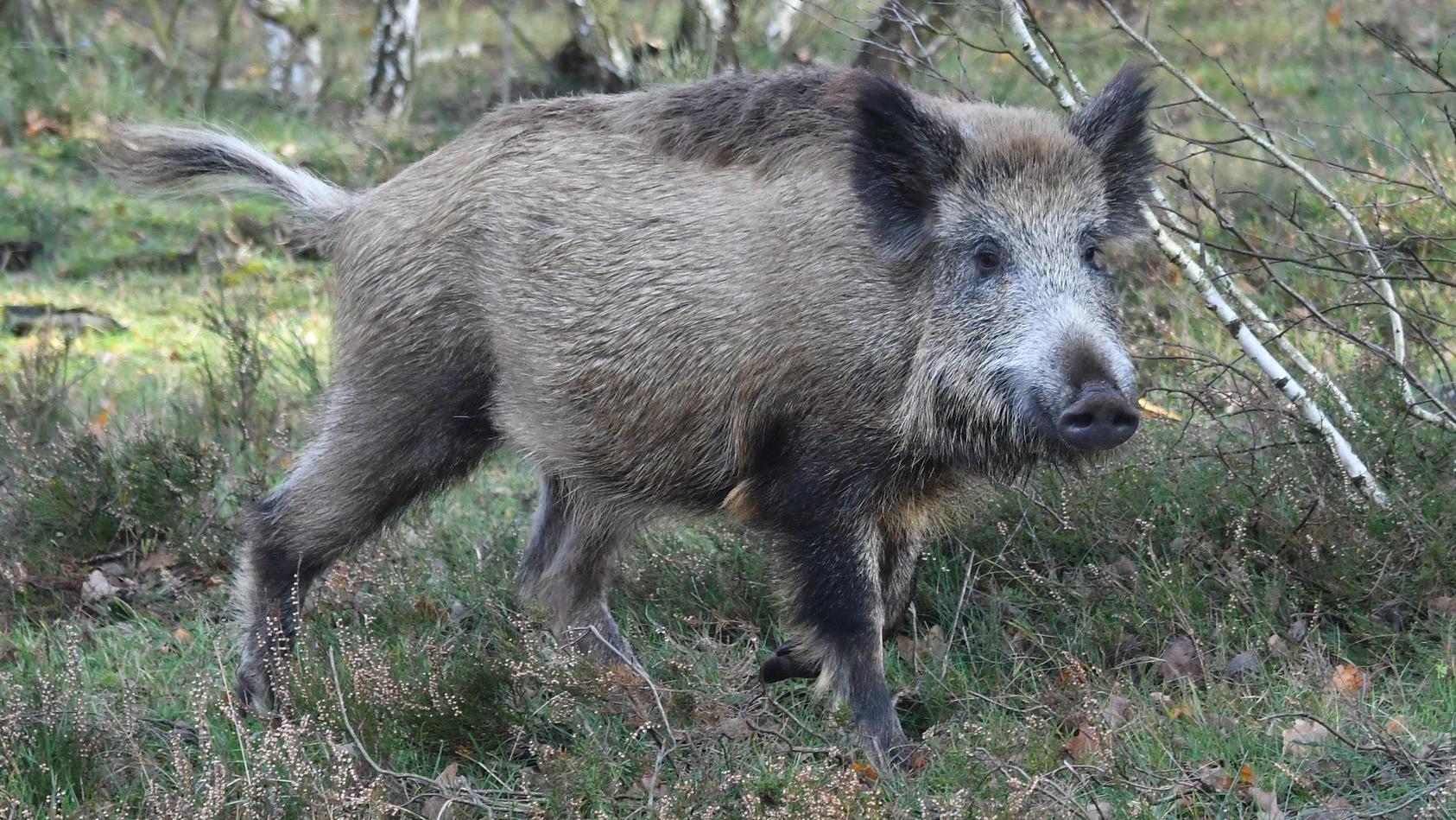Ein Wildschwein soll den Jäger aus der Region Vorpommern-Greifswald attackiert haben (Symbolfoto).