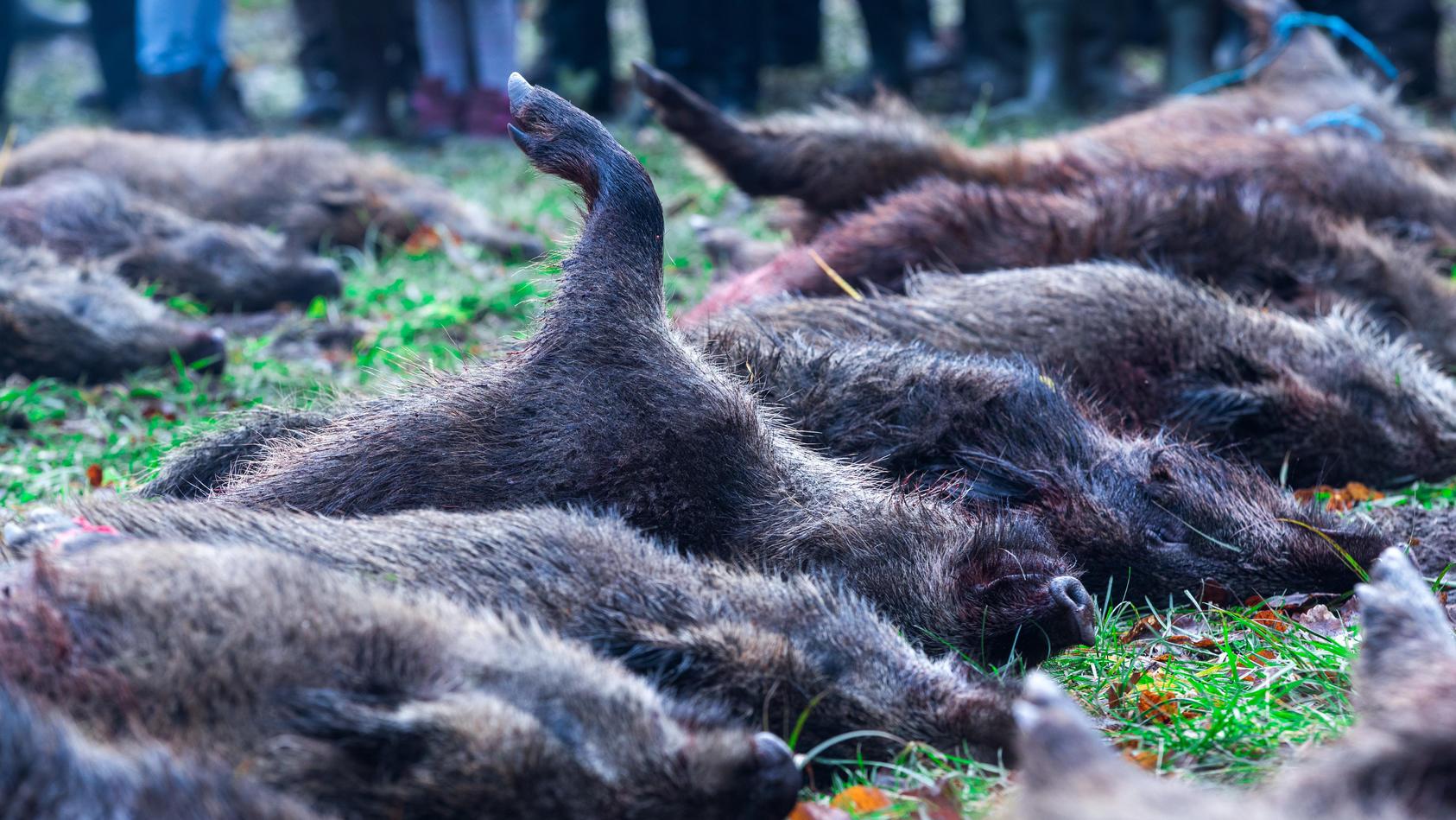 Wildschweinjagd gegen Schweinepest.