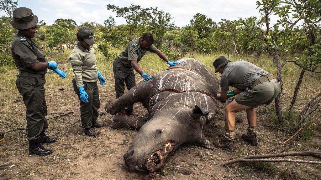 ARCHIV- Arbeiter der Ermittlungsstelle für Umweltkriminalität von den SANParks führen im Kruger National Park Skukuza (Südafrika) eine Postmortem-Untersuchung an einem Nashorn durch, das wegen seiner Hörner getötet wurde. Wilderer haben in Südafrika