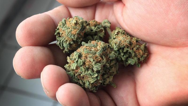 Ein Mann hält Cannabisblüten in der Hand
