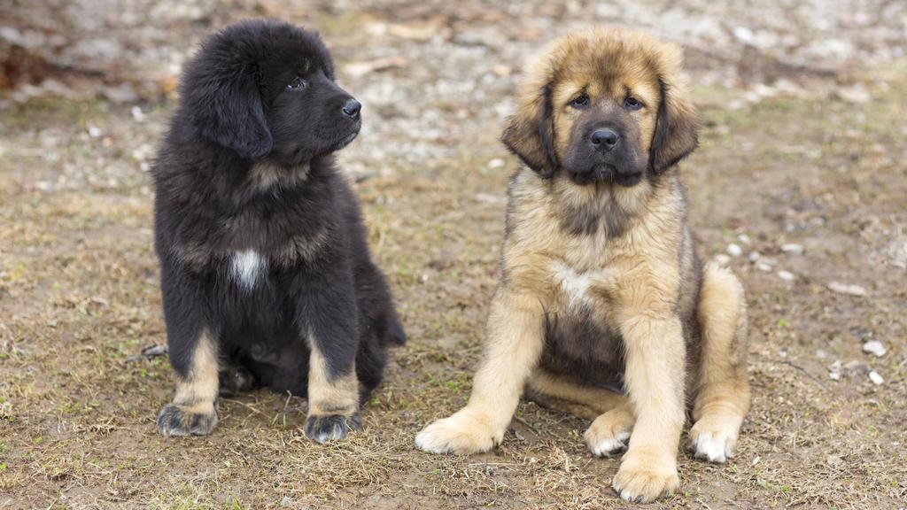 Das sind zwei tibetanische Baby-Doggen