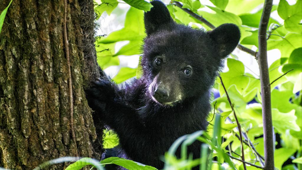 Das ist ein Schwarzbär-Baby